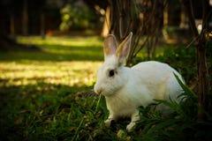白色兔子在森林里走 免版税图库摄影
