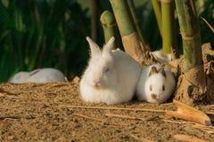 白色兔子早晨放松 免版税库存照片