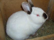 白色兔子黑色鼻子 库存照片