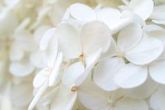 白色八仙花属/霍滕西亚在庭院里,关闭美丽的开花  很多白色小花 伟大为打印,卡片, 库存照片