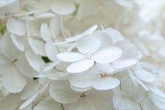 白色八仙花属/霍滕西亚 在显示色的花萼的花的特写镜头在四个瓣附近 库存照片
