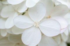 白色八仙花属/霍滕西亚 在显示色的花萼的花的特写镜头在四个瓣附近 免版税库存照片