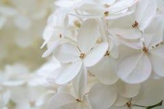 白色八仙花属/霍滕西亚 在显示色的花萼的花的特写镜头在四个瓣附近 免版税图库摄影