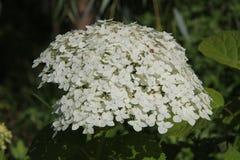 白色八仙花属在庭院里 库存照片