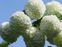 白色八仙花属花球  库存图片