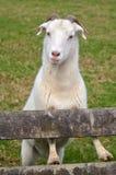 白色公山羊 免版税库存图片