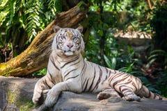 白色公老虎在动物园里 库存照片