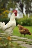 白色公鸡和母鸡 免版税库存图片