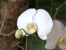 白色兰科兰花植物amabilis在庭院里 免版税库存照片