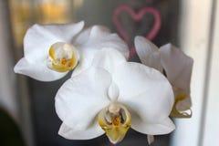 白色兰花兰花植物 免版税图库摄影