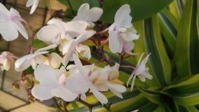 白色兰花和两片被定调子的叶子 免版税库存图片