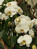 白色兰花在庭院里 免版税库存照片