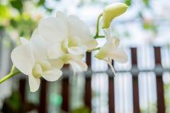 白色兰花在庭院里 免版税库存图片