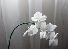 白色兰花在窗口里 图库摄影