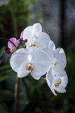 白色兰花植物兰花花在 免版税库存照片