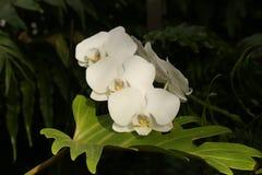 白色兰花植物兰花 库存图片