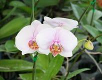 白色兰花植物 库存图片