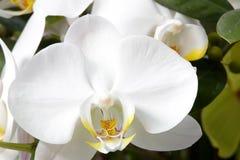白色兰花植物 免版税库存照片