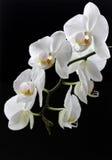 白色兰花白花在黑背景的 免版税库存图片