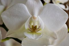 白色兰花花特写镜头兰花植物 免版税库存图片