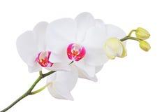 白色兰花花, DOF 库存照片