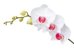白色兰花花, DOF 免版税库存照片