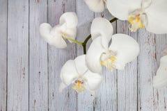 白色兰花花  库存图片