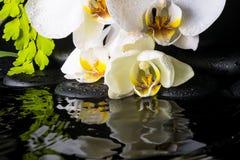 白色兰花(兰花植物),绿色分支温泉静物画  库存图片
