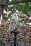 白色共同的谷仓猫头鹰特写镜头  库存照片