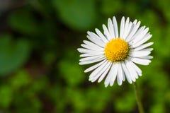 白色共同的雏菊反对绿色背景的艾里斯perennis 库存照片
