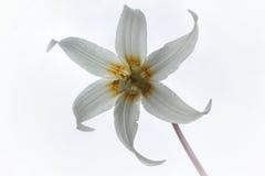 白色典雅的花-小鹿百合 免版税图库摄影