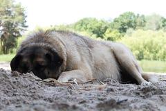 白色农村狗睡眠和谎言卷曲了在地面,夏季 免版税库存照片