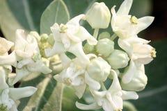 白色冠开花(Calotropis giantea),热带花 免版税库存图片