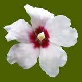 白色冬葵。隔绝在绿色。 免版税图库摄影