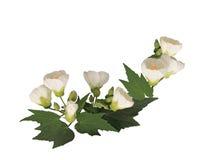 白色冬葵花 免版税图库摄影