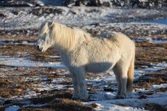 白色冰岛马 冰岛马是在冰岛开发的马品种 一个小组冰岛小马在牧场地 免版税库存照片