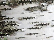 白色削皮白桦树皮 库存图片