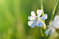 白色剪秋罗Silene latifolia或Melandrium册页特写镜头 库存照片