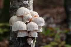 白色加盖了在一个老树干的树蘑菇 库存图片