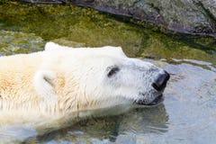 白色北极熊在水中 免版税库存图片
