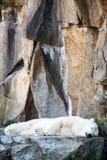 白色北极熊睡觉 免版税库存图片