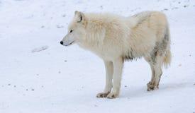 白色北极狼在冬天森林里 库存图片