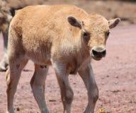 年轻白色北美野牛身分 免版税库存照片