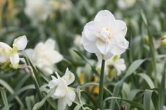 白色双重水仙黄水仙花 图库摄影