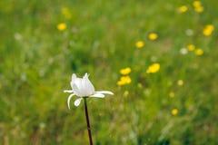 白色发芽的春白菊绽放如被看见从边 免版税库存照片
