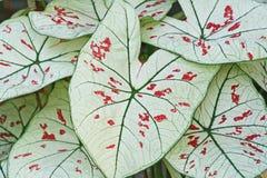 白色叶子,贝母双色,叶茂盛植物的女王/王后 免版税库存照片