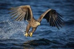 白色吃一条新近地被抓的鱼的被盯梢的老鹰 库存照片