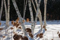 白色吠声桦树树干在冬天 免版税库存照片