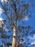 白色吠声玉树,蓝山山脉,澳大利亚 库存图片