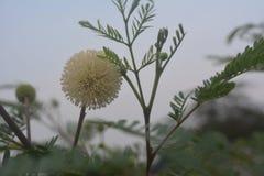 白色含羞草pudica花或含羞草有天空背景 免版税库存照片